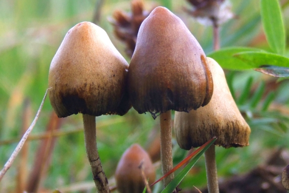Psilocybe semilanceata, aka the magic mushhrom. Images via Wikimedia Commons